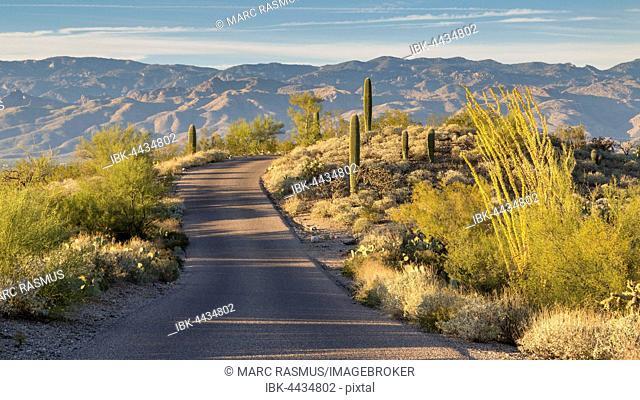 Road through landscape with saguaro cacti (Carnegiea gigantea), Saguaro National Park, Sonoran Desert, Arizona, USA
