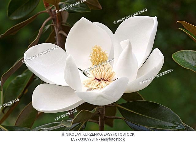 Southern magnolia (Magnolia grandiflora). Called Evegreen Magnolia, Bull Bay, Bullbay Magnolia, Laurel Magnolia and Loblolly Magnolia also