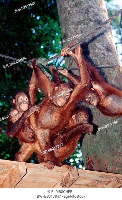orang-utan, orangutan, orang-outang (Pongo pygmaeus), group, Malaysia, Sabah, Sepilok