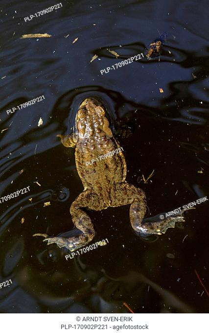 Common toad / European toad (Bufo bufo) male swimming in breeding pond in spring