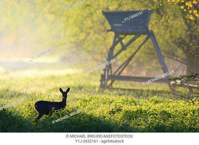 Western Roe Deer (Capreolus capreolus), Female, In Background a Hunting Blind, Hesse, Germany, Europe