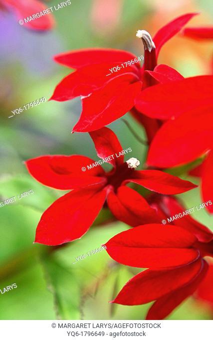Lobelia Cardinalis, Scarlet close up