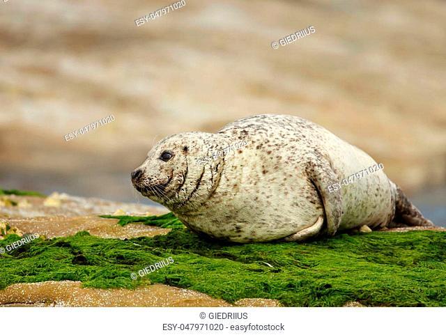 Common seal (Phoca vitulina) on the coast, Noss, UK