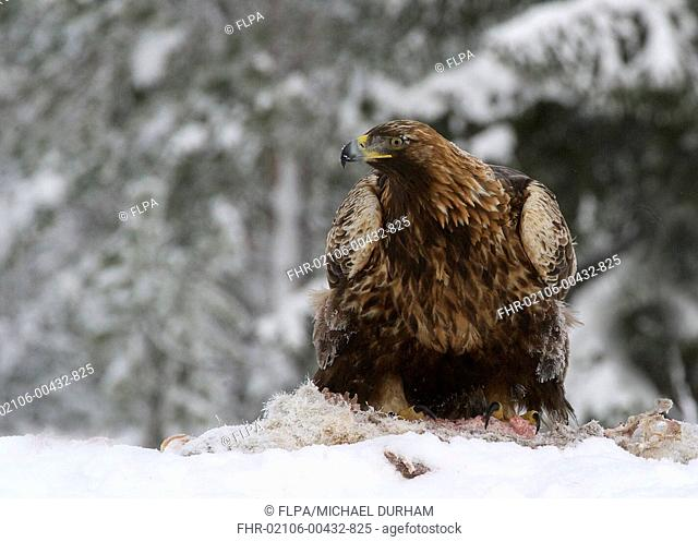 Golden Eagle (Aquila chrysaetos) adult, feeding on carrion in snow, Utajarvi, Oulu Province, Northern Ostrobothnia, Finland, February