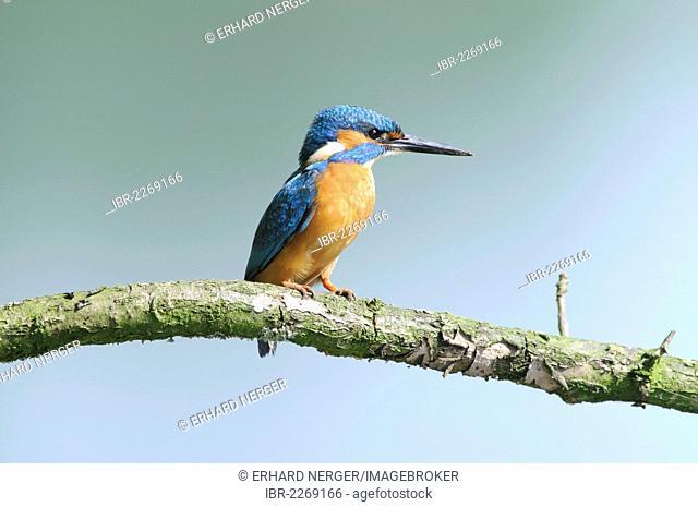 Kingfisher (Alcedo atthis), Haren, Emsland region, Lower Saxony, Germany, Europe