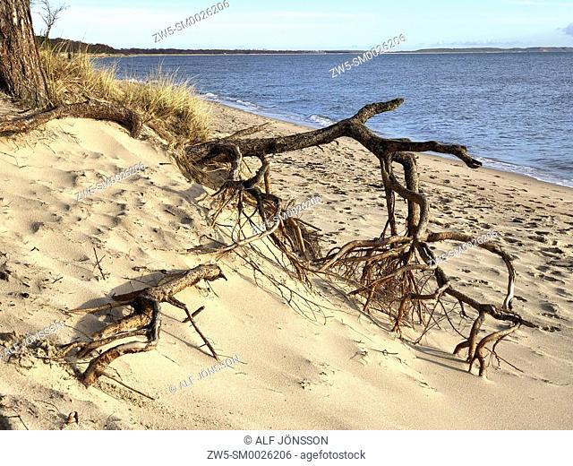 Aerial roots on the beach in Ystad, Sweden, Scandinavia