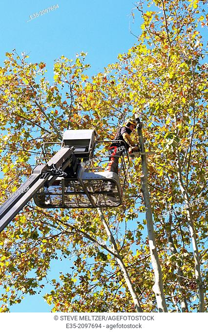 Trimming a tall tree with a cherry picker truck