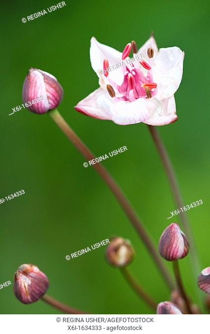 Flowering Rush Butomus umbellatus, flowers, Lower Saxony, Germany