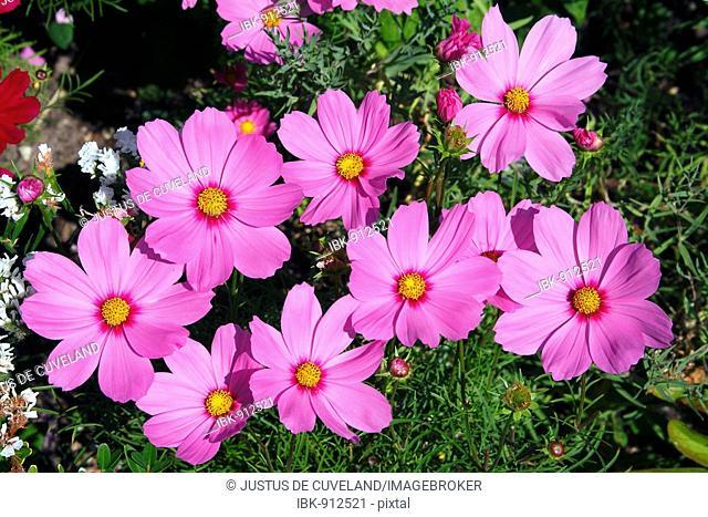 Flowering Mexican Aster or Garden Cosmos (Cosmos bipinnatus)