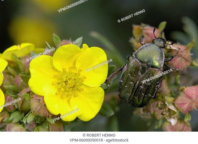 CETONIA AURATAROSE CHAFER - ROSE BEETLEON FLOWER AVEYRON - FRANCE