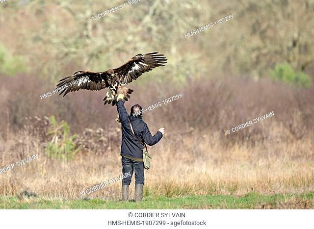 France, Loiret, Sologne, Ligny le Ribault, Golden Eagle (Aquila chrysaetos), on the falconer's fist