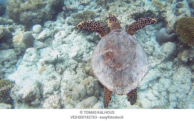 turtle, marine, sealife, scuba, diving, green, sea, ocean, tropical, nature, hawksbill turtle, coral reef, reef, swimming animal, fish, jellyfish, aqua, shell