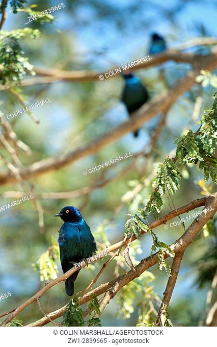 Trio of Cape Glossy Starlings (Lamprotornis nitens) in tree, Kruger National Park, Transvaal, South Africa