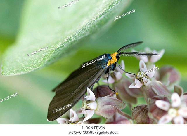 A Virginia Ctenucha Ctenucha virginica moth on Milkweed on Barrie Island, Manitoulin Island, Ontario, Canada