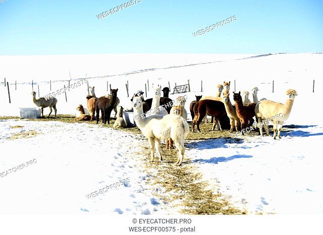 Herd of alpacas outdoors in winter