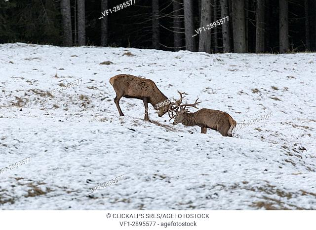 Italy, Trentino Alto Adige, deers fighting in Paneveggio nature park
