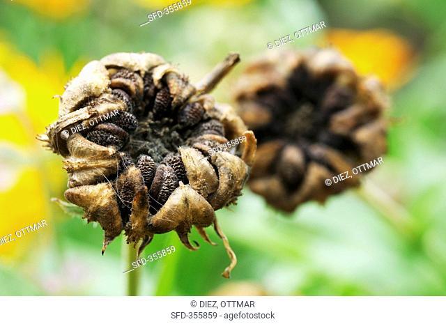 Marigold seeds calendula officinalis