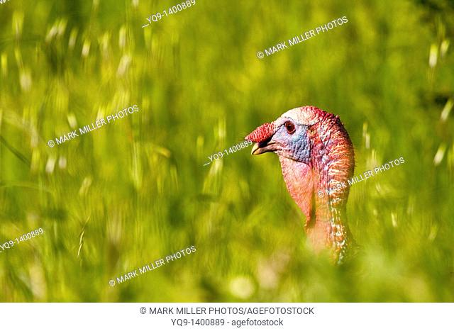 Wild Turkey California USA