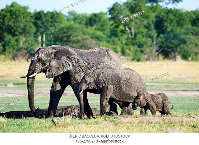 African elephant group (Loxodonta africana) with females and young foraging in the savanna. Hwange National Park, Zimbabwe