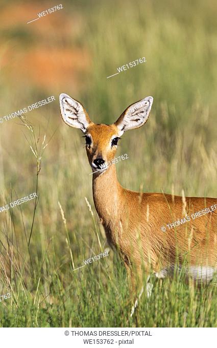 Steenbok (Raphiceros campestris). Female. Kalahari Desert, Kgalagadi Transfrontier Park, South Africa