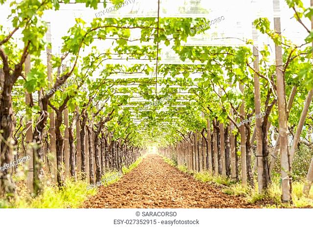View of a vineyard in daylight
