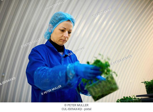 Woman wearing hair net and latex gloves packaging vegetables