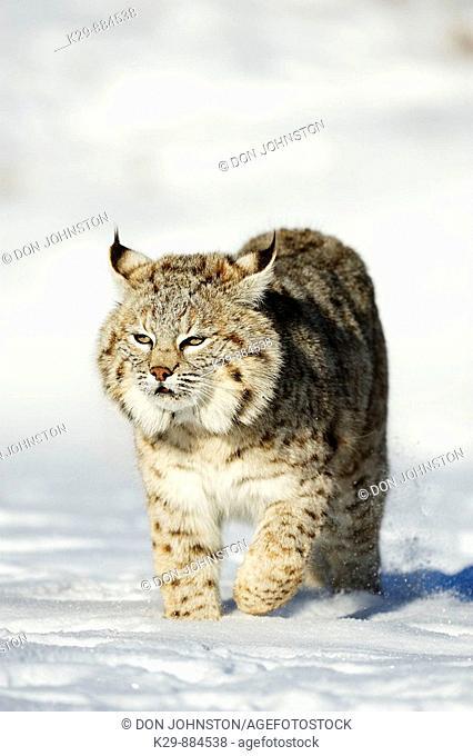 Bobcat Felis rufus- captive, winter habitat