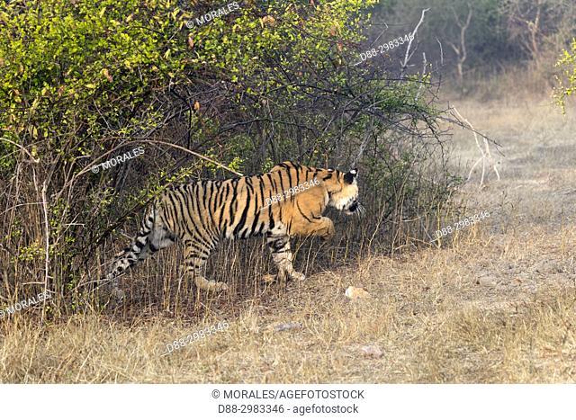 Asia, India, Rajasthan, Ranthambore National Park, Bengal tiger (Panthera tigris tigris), youngs, one year old