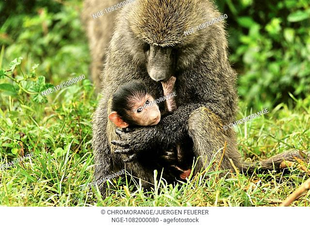 Monkeybaby well observed in the arms of his mother