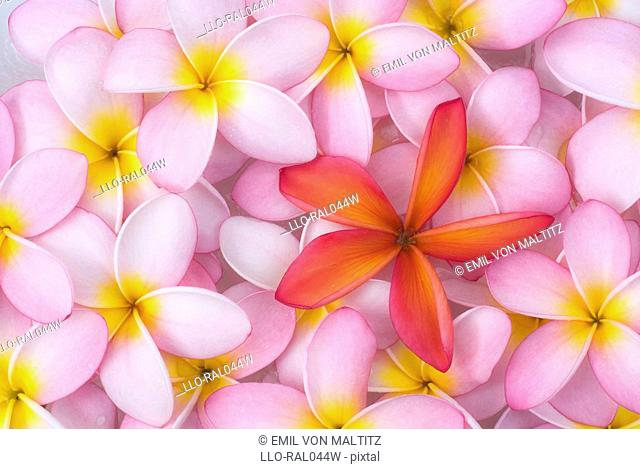 Pink Frangipani Plumeria rubra flower petals with a single petal from a similar subspecies