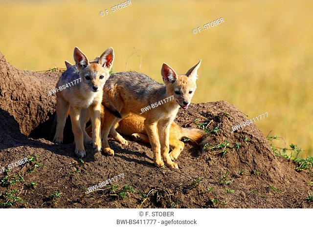 black-backed jackal (Canis mesomelas), cubs at their den, Kenya, Masai Mara National Park
