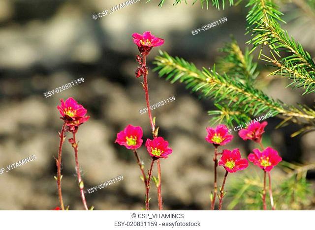 Succulent Plant (stonecrop Or Sedum)