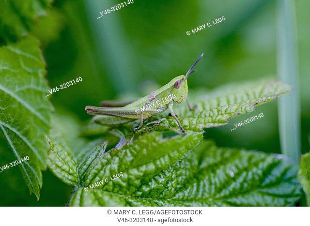 Small Gold Grasshopper, Euthystira brachyptera, small short-horned grasshopper, 13-26mm long. Bodies are green-gold with female wings purplish or pink