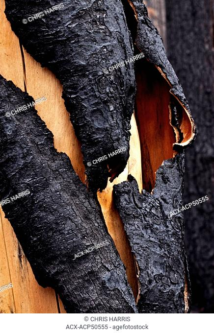 burn't pine tree in the Cariboo Chilcotin region of British Columbia Canada