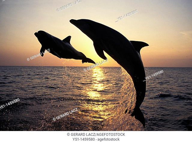 BOTTLENOSE DOLPHIN tursiops truncatus, ADULTS LEAPING AT SUNSET, HONDURAS