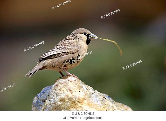 Sociable Weaver, (Philetairus socius), adult with nesting material, South Africa, Africa