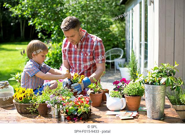 MODEL RELEASED. Father and son potting up plants in garden