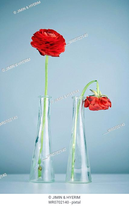 Fresh and withered rose in the glass bottles