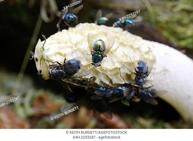 Greenbottle, Lucilia caesar and Bluebottles, Calliphora vomitoria, attracted to Phallus impudicus, Stinkhorn fungus by its putrid scent