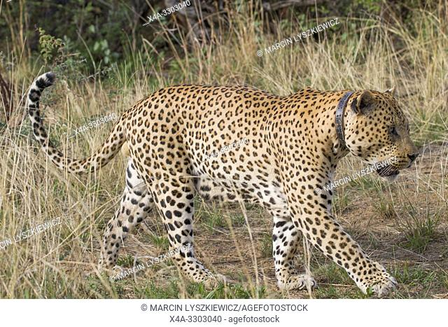 Leopard (panthera pardus) male, Okonjima Nature Reserve