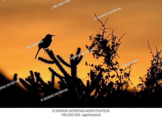 Thrasher sunset, McDowell Mountain Regional Park, Maricopa County, Arizona