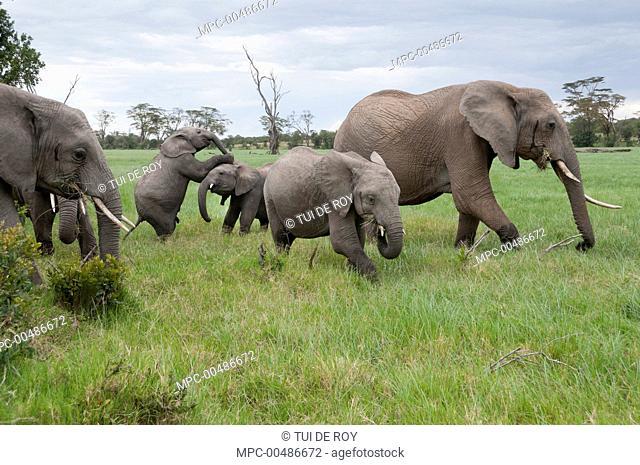 African Elephant (Loxodonta africana) herd grazing, Ol Pejeta Conservancy, Kenya