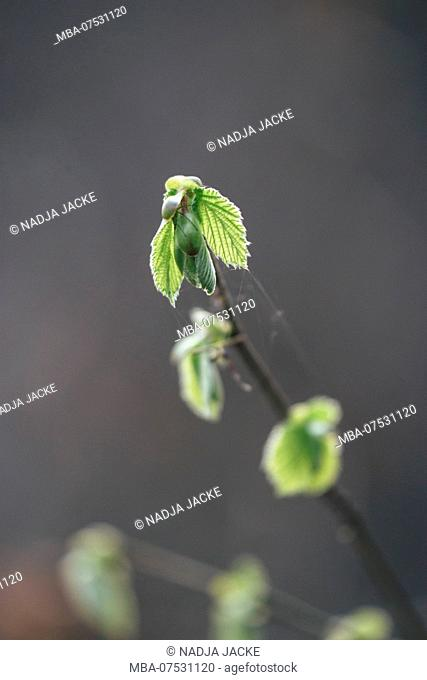 Delicate beech leaves in spring