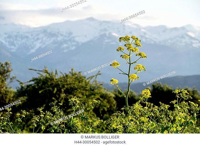 Apiaceae, Ferula communis, mountains, usual Steckenkraut, Greece, Crete, Lefka Ori, gigantic fennel, rod herb, Steckenkraut, vegetation, Mediterranean