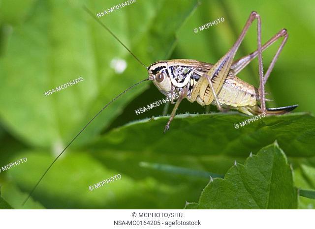 Roesel's bush cricket Metrioptera roeselii