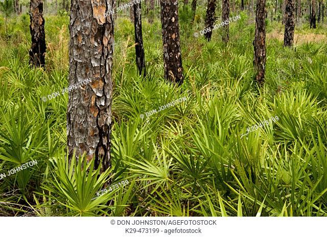 Pine flatwoods flora. Corkscrew Swamp Sanctuary, FL, USA