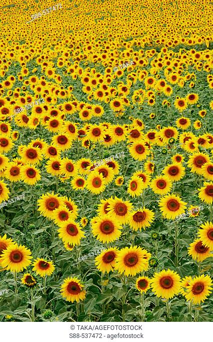 Sunflowers. Andalucia .Cadiz province. Spain