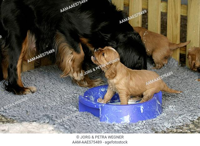 Cavalier King Charles Spaniel, female and puppies, 26 days, eating from bowl