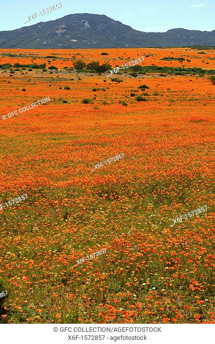 Thousands of Orange African Daisies blossoming during the spring flower season in the Skilpad Wild Flower Reserve, Namaqua National Park, Namakwaland