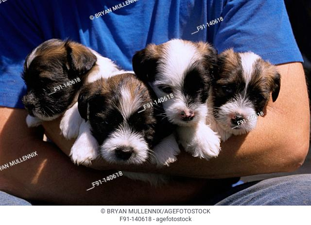 Shih Tzu-Fox Terrier mixed puppies